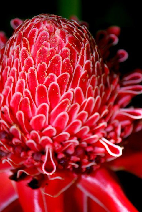 An Asian Spice Shop Spices Unearthed Torch Ginger Flower Bunga Kantan Torch Ginger Flower Ginger Flower Torch Ginger