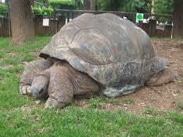 Tartaruga Gigante (Extinta)  :(