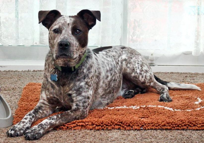 american staffordshire terrier australian cattle dog mix