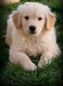 Golden Retriever Puppies For Sale Aggressive Dog Really Cute