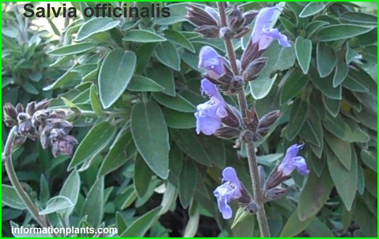 الفوائد الصحية وطرق الزراعة للمريمية او القصعين العطري فوائد النبات فوائد معلومان عامه معلوماتية Plants