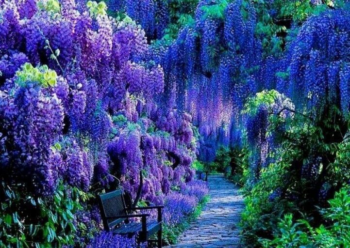 Wisteria In Full Bloom In Germany Shade Plants Beautiful Gardens Dream Garden