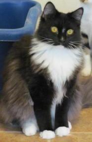 Beau Domestic Long Hair Black And White Gatos
