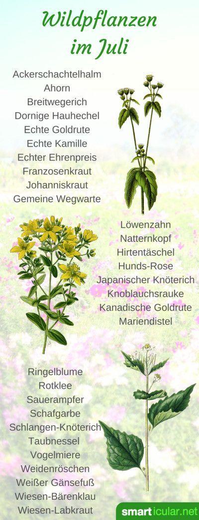 #schmackhaftes #vielfltigsten #wildpflanzen #struchern #beschenkt #pflanzen #gesunden #krutern #ernten #wissen #mssen #bumen #knnen #natur #wannSchmackhaftes aus Feld und Flur: Wildpflanzen im Juli Die Natur beschenkt uns mit den vielfältigsten Bäumen, Sträuchern und Kräutern. Wir müssen nur wissen wo und wann wir die gesunden Pflanzen ernten können. #pflanzenimschlafzimmer