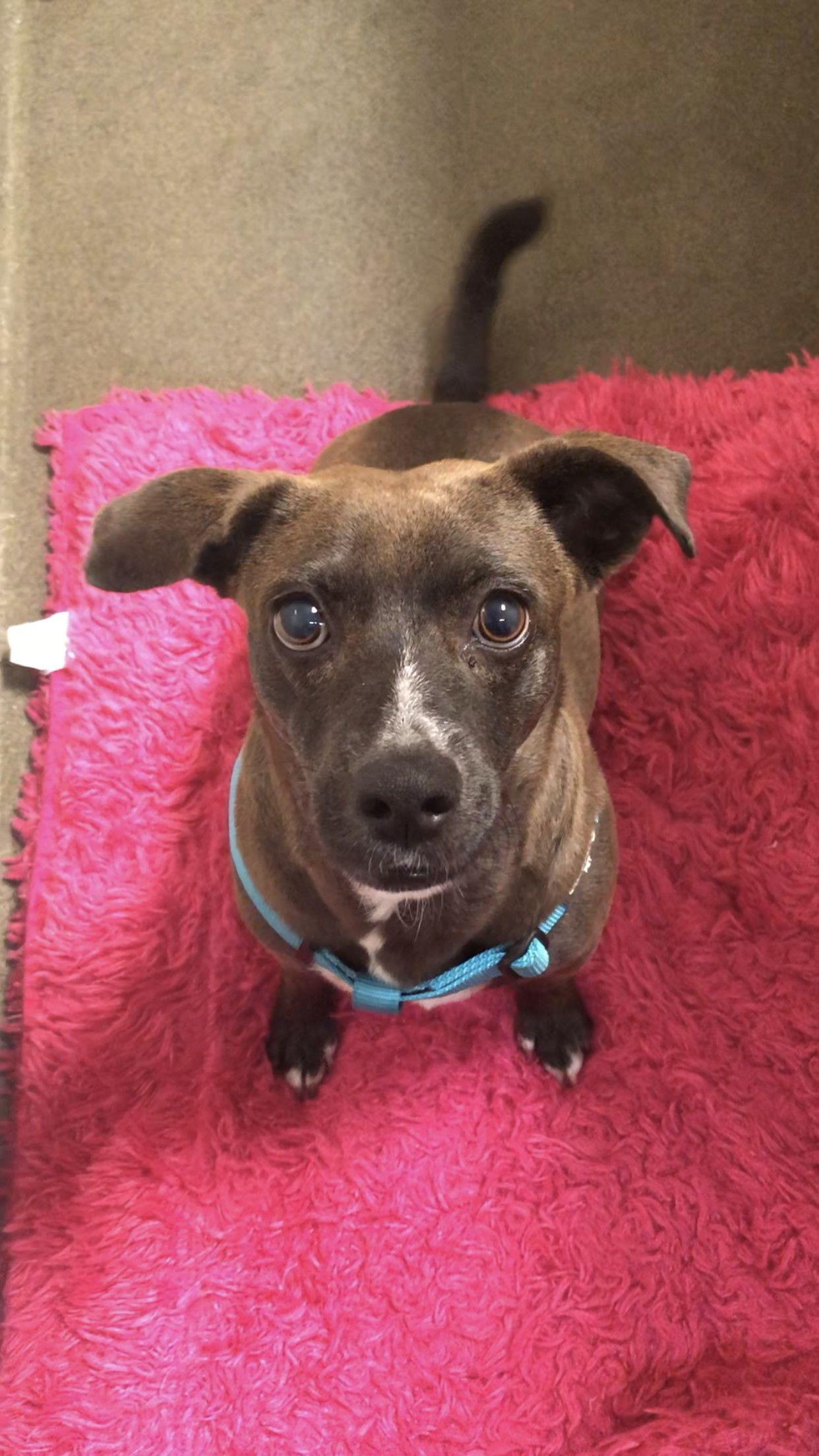 Adopt pama on dog adoption chihuahua mix animal rescue