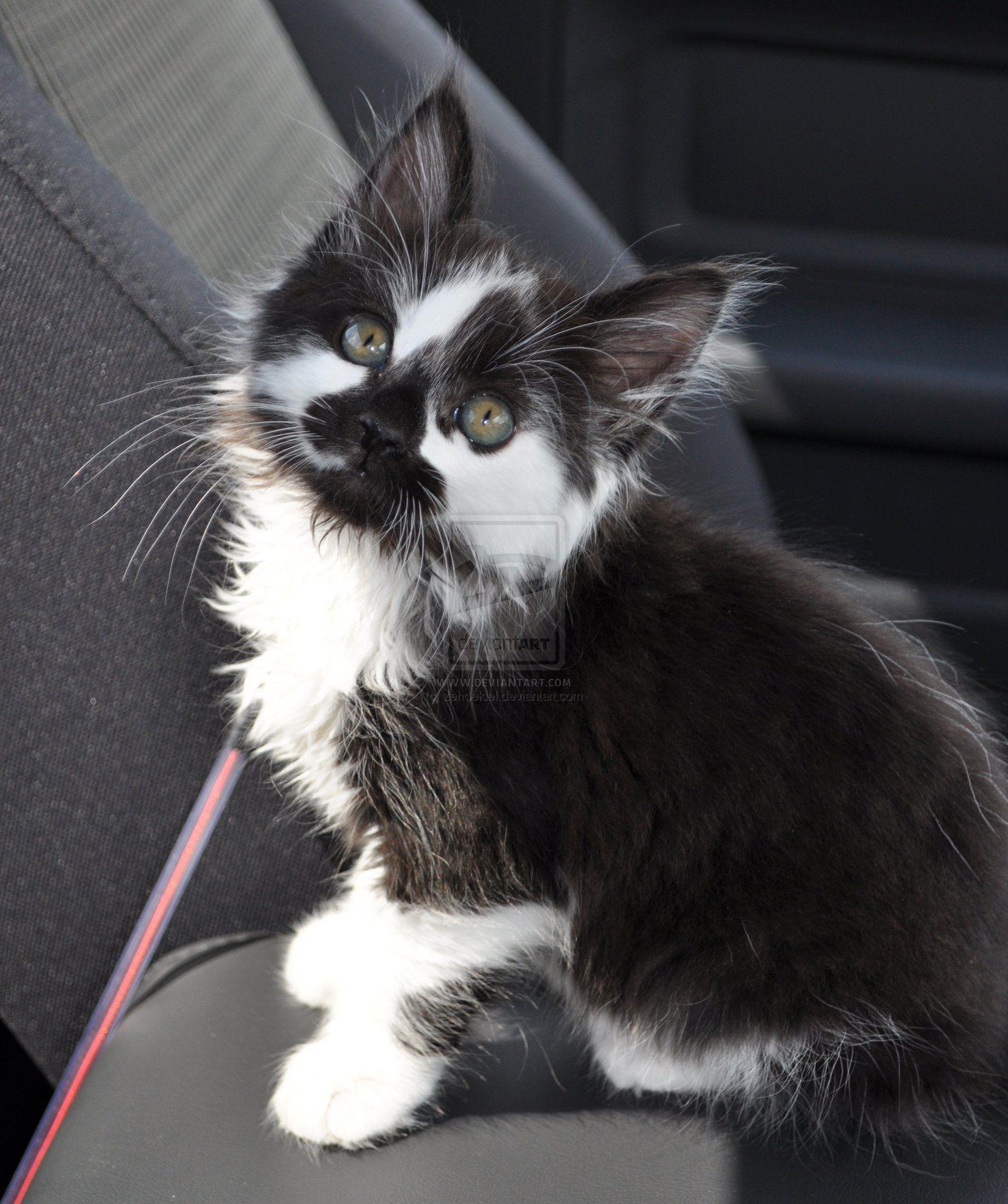 Sixty Seben By Zehdekiel Deviantart Com On Deviantart Pretty Cats Kittens Cutest Cute Cats
