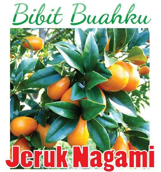 Bibit Tanaman Jeruk Nagami Unggul Kecil Sampai Berbuah Bibit Buahku Buah Tanaman Jeruk