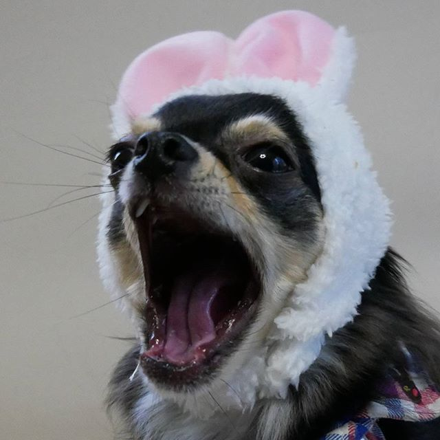 * * ガオー🐅 * やっと土曜日ーo(^-^o)(o^-^)o♥ * * #ねこうさぎ#ねこうさぎちゃん #あくび#あくび祭 #10ワン10色親バカ会 #迷子犬の掲示板応援団#dog#犬#チワワ#チワワ部#ちわわ#ふわもこ部#ブラックタン#ロングコートチワワ#子犬#doglove#chihuahua#dogsofinstagram#愛犬#puppy#ペット#pet#instadog#followme#cute#love#pretty#likel4ike#Japan#follow