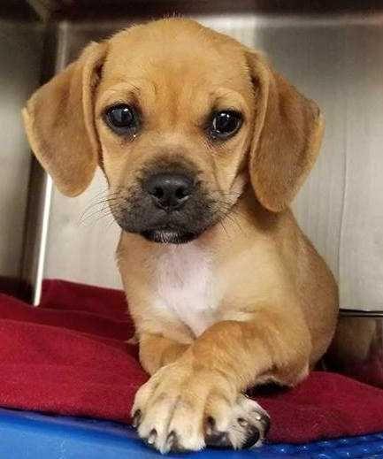 Puggle Dog For Adoption In Woodside Ny Adn 659749 On Puppyfinder