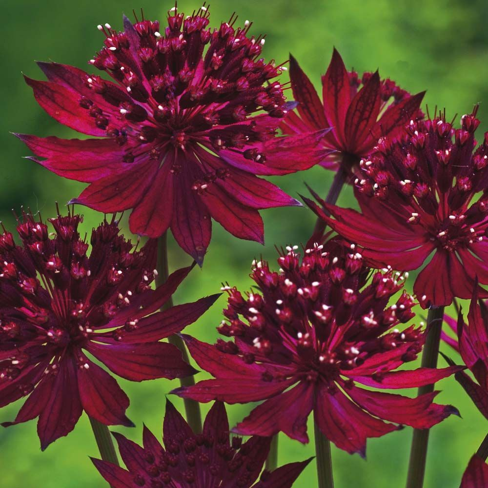 hattie 39 s pincushion masterwort astrantia major 39 venice. Black Bedroom Furniture Sets. Home Design Ideas