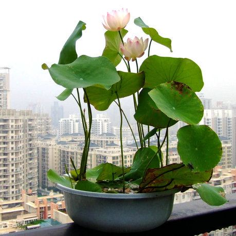 Mix Mini 5 Perennial Flowers Seeds Many Colors Lotus Seeds Teach