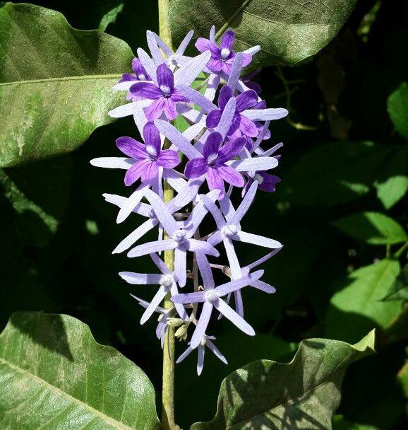 Common Name Purple Wreath Queen S Wreath Sandpaper Vine Hindi न लमण लत Nilmani Lata Tamil Kudirai Valuppu Bengali ন লমন লত Nilmanilat ดอกไม ส ม วง