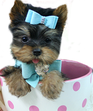 Puppy Boutique Store 5000 Teacup Puppy Sweepstakes Page Teacup Puppies Yorkie Teacup Yorkie