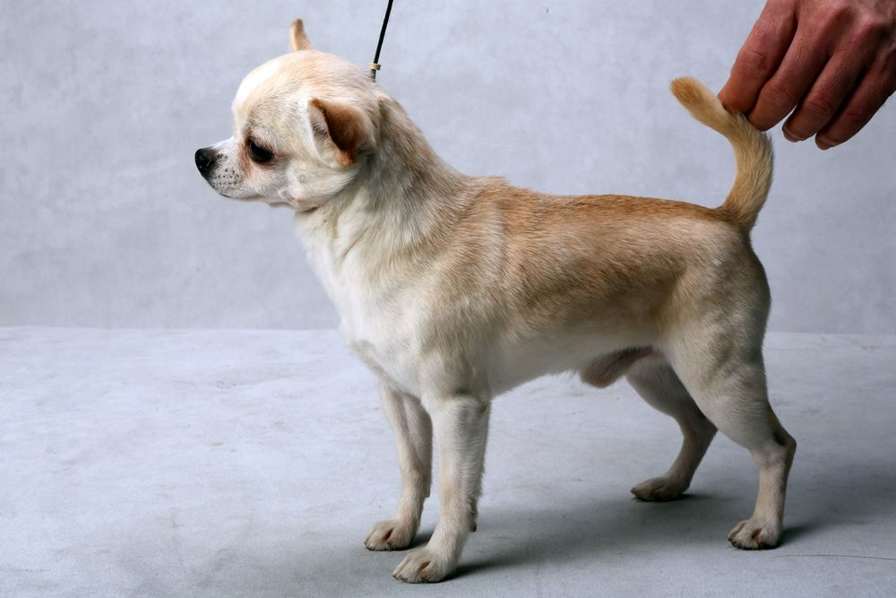 Ever The Chihuahua Smooth Coat A Best Of Breed Winner At The