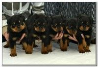 Show Quality Rottweiler Puppies For Sale Rottweiler Puppies For