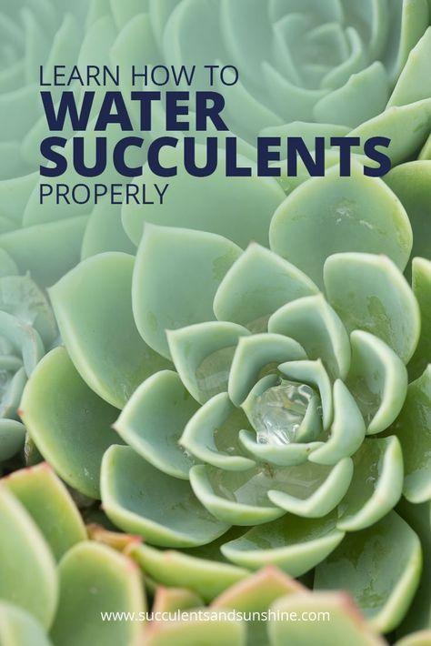 How to water succulent plants gardening suculentas - How often should you water your garden ...