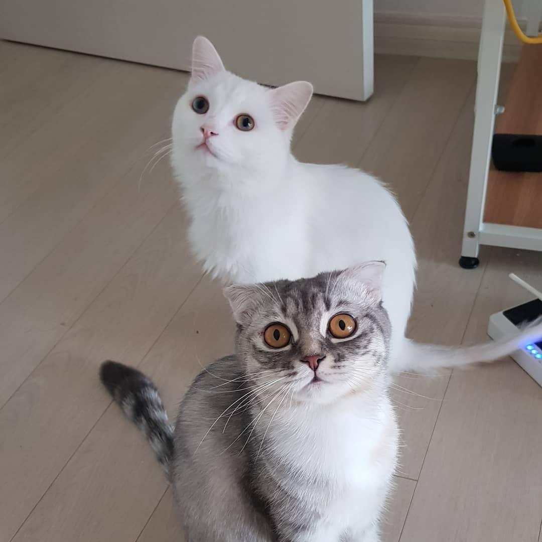 오랫만에 투샷 고양이 고양이분양 스코티쉬스트레이트 스코티쉬폴드 Scottishfold Scottishstraight Catz Cat 좋아요 고양이집사 맞팔 F4f L4l 캣스타그램 반려묘 반려동물 카샤카샤 미묘 C Cats Animals