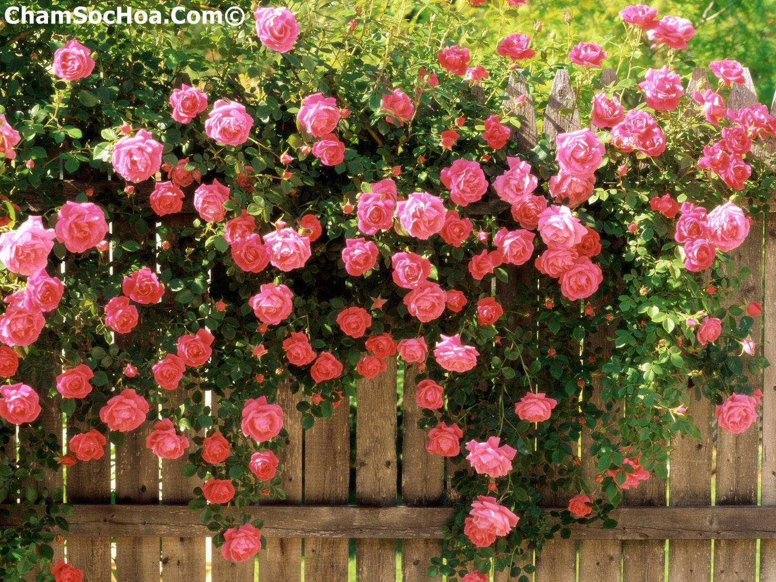 Cách trồng hoa hồng trong chậu #rose #flower #flowers | Cách trồng ...