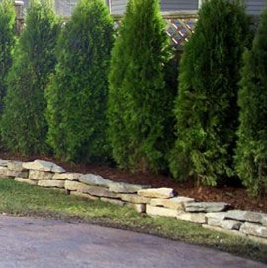 Cedar Trees For Privacy Hedges With Images Backyard Plan