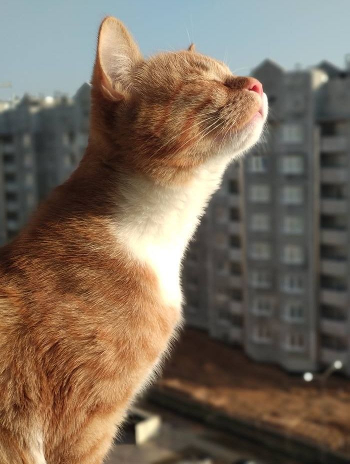 Kittens ragdoll cat for sale