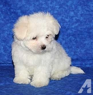 CUTE MALTESE PUPPIES FOR ADOPTION for Sale in Durham