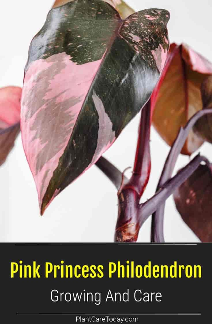 Growing pink princess philodendron care lighting