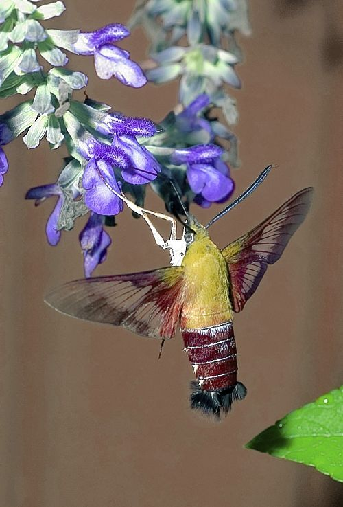 hummingbird moth - about half the size of a hummingbird, in flight, it's wings move just as rapidly. It drinks nectar from the same flowers. It even flexes its body in the same way. The only thing that gives it away are its legs!