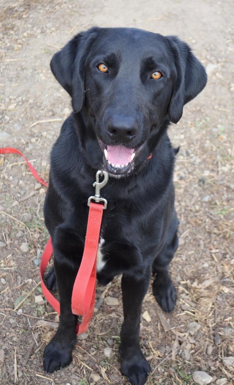 Adopt Bear on Labrador retriever, Young animal, Humane