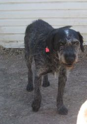 Maya is an adoptable Wirehaired Terrier Dog in Merritt, BC. Maya is approximately 5 years old, spayed female, Wiredhair Terrier. She is well trained, a true love and good with other dogs. Please note ...