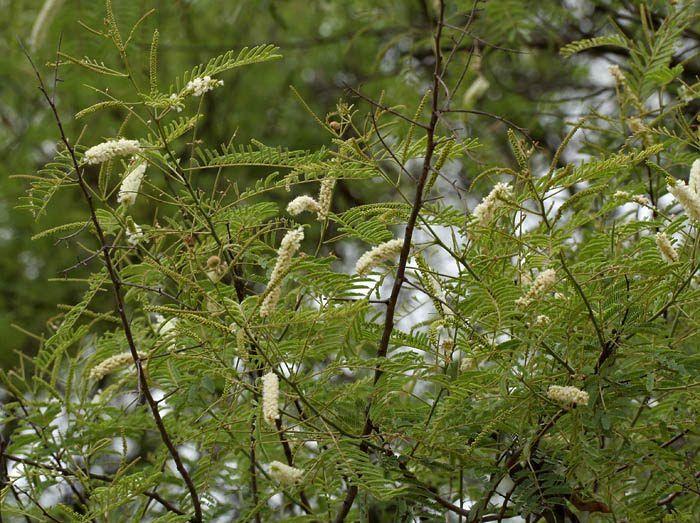 Acacia Catechu Plant Species Plant List Plants