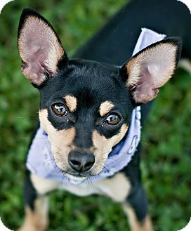 Portsmouth Ri Chihuahua Terrier Unknown Type Small Mix Meet