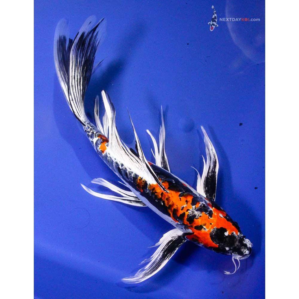13 5 beni kikokuryu butterfly koi images butterfly for Koi for sale