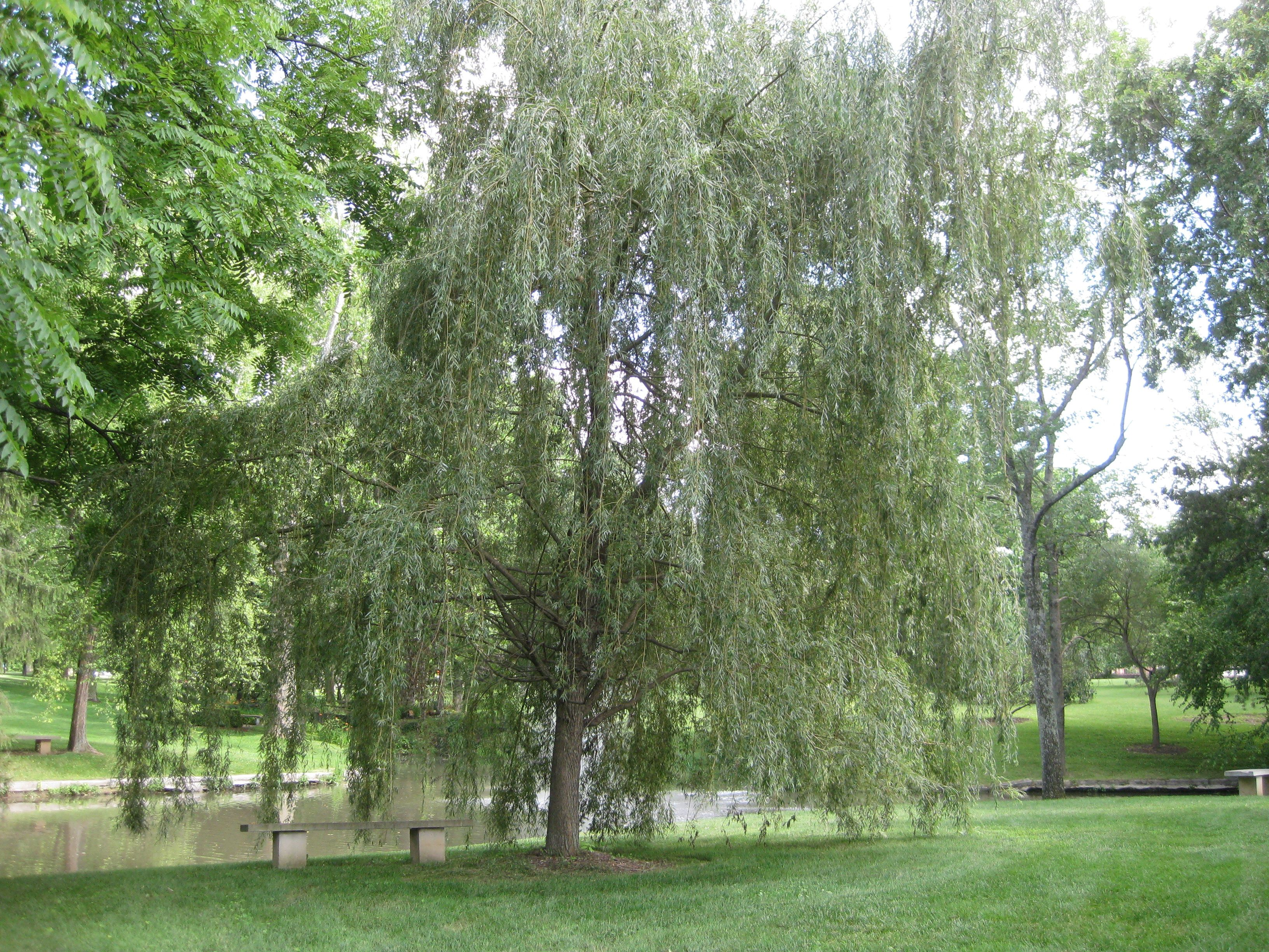 weeping willow tree......getting spanked with a switch!