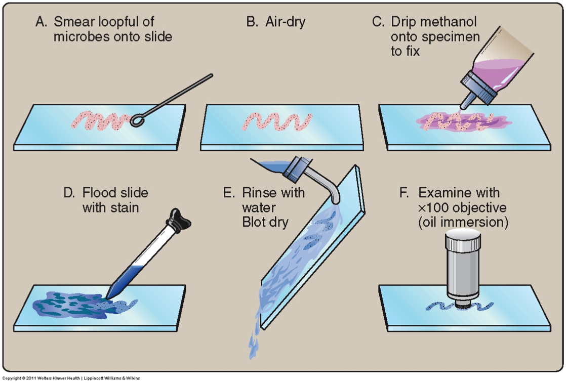 bacterial smear preparation and simple staining Special staining endospore / capsule  emulsion to be used for staining preparation of smear: 1  a simple method of staining bacterial flagella kitasato arch.