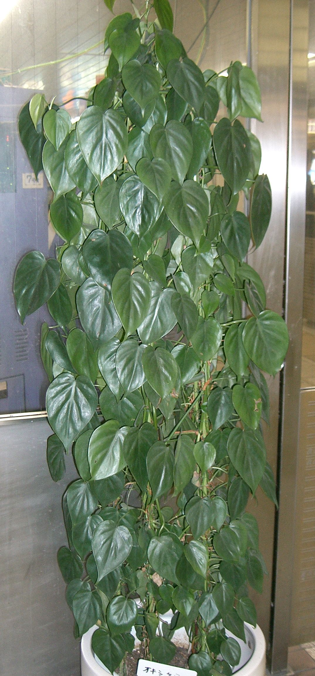 Philodendron hederaceum | Features | Growing Instructions ...