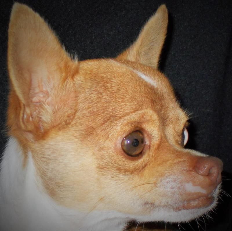 Hi, my name is Tiger.  I'm a tiny neutered male Chihuahua, and I weigh 5.75 pounds.  My family couldn't keep me because they felt four dogs were too many, and I was the one that had to be rehomed.  I'm a nice boy, cute and cuddley, and I would love...