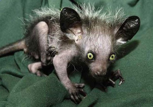 The ayeaye is a nocturnal lemur native to Madagascar. It