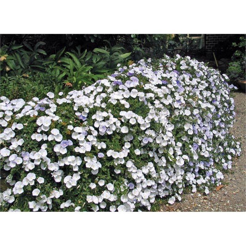 Bunnings White Carpet Roses Carpet Vidalondon