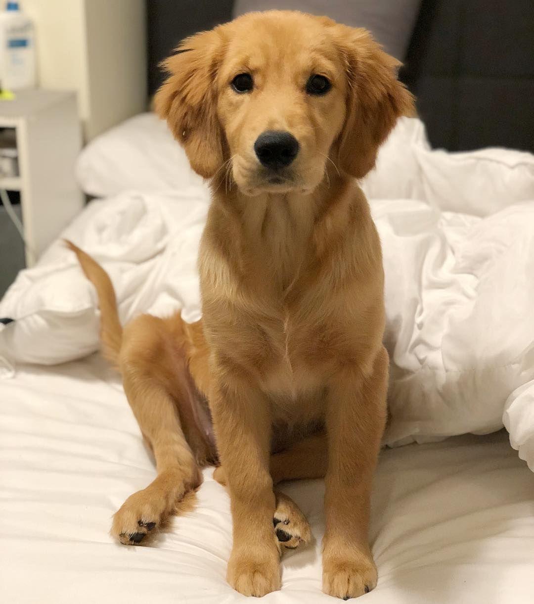 Classic Puppy Sit Goldenretriever Niedliche Tierbabys Hunde Tiere