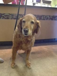 Adopt Dixie On Old Golden Retriever Golden Retriever Rescue
