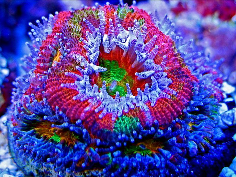 Ultra Bleeding Apple Acan The Reef Pinterest Apples