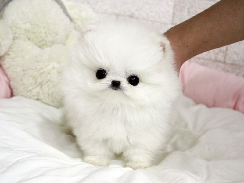 Adorable Cody Sold to Patty in TN! Teacup puppies