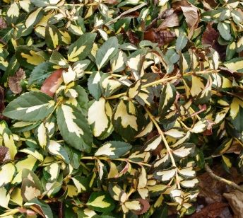 Euonymus Fortunei Moonshadow Low Growing Ground Cover Shrub