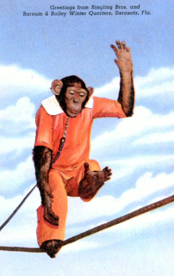 Barnum and Bailey's chimp takes to the tight rope. | Florida Memory