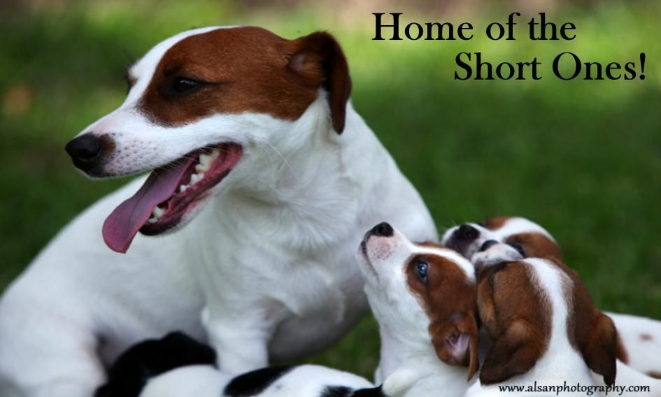 English Short Leg Jack Russell Terrier Puppies For Sale Aka