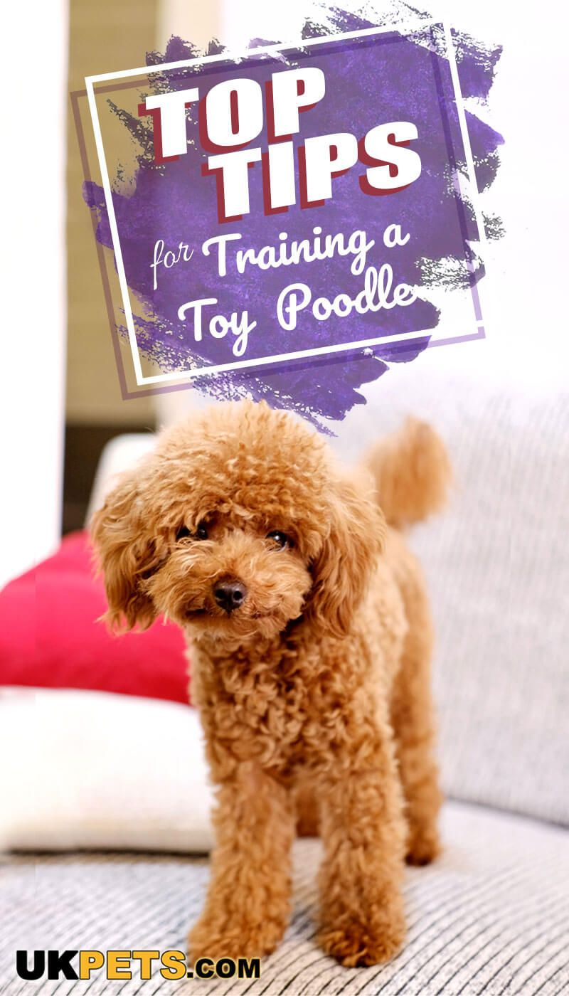 Along With The Border Collies Poodles Are One Of The Easiest Dog