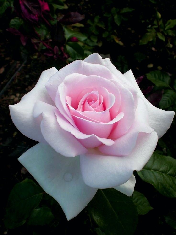 I U Our Eternity Roses Are Real Roses That Will Last Minimum 1 Year We Are The Leading Company Specialize Rose Flower Flowers Alphabet Design