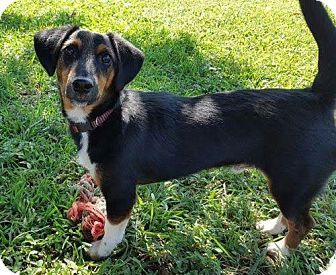 Rochester Ny Dachshund Beagle Mix Meet Danno A Dog For