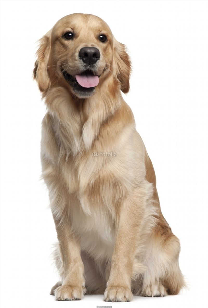 Golden Retriever 1 And A Half Years Old Sitting Poster Dogs