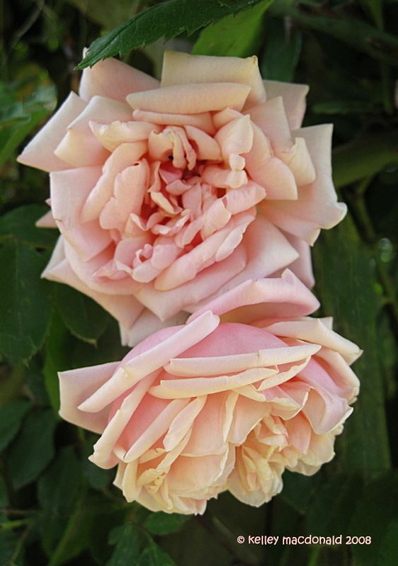 Tea Noisette Rose: Rosa 'Elie Beauvillain' (France, 1887)